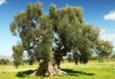 Villamassargia: il giardino degli ulivi di S'Ortu Mannu